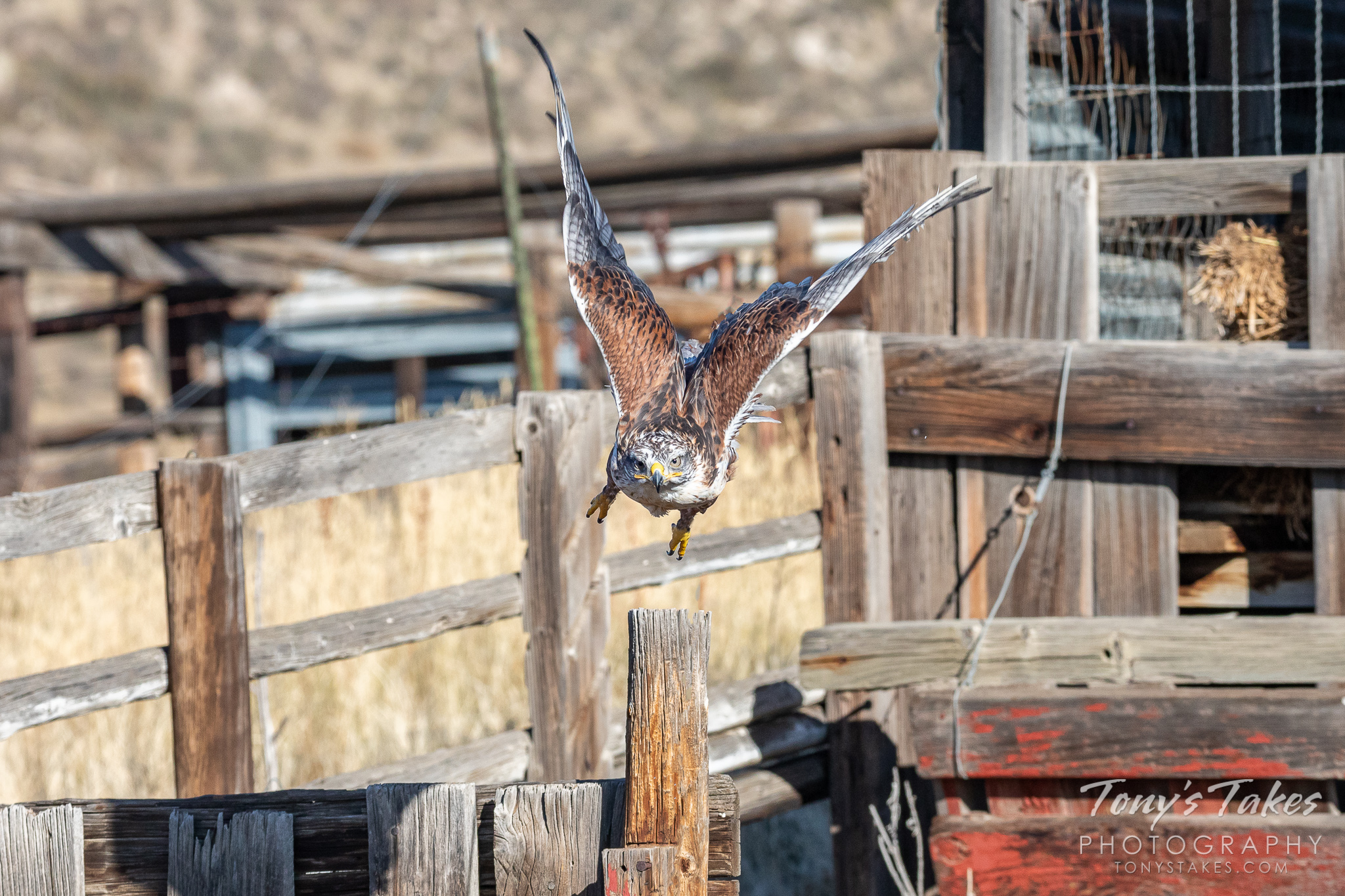 Ferruginous hawk launches head on