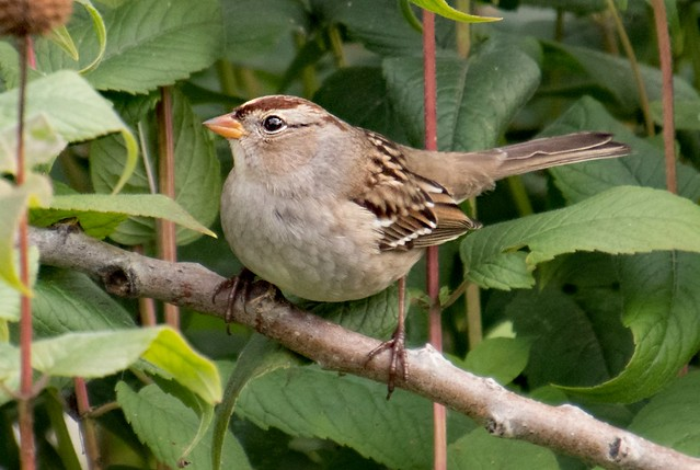 White-crowned Sparrow (J)