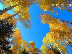 IMG_7823 Quaking Aspen, Grand Canyon National Park