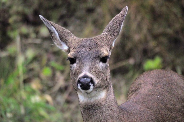 I had a staredown with this Deer this afternoon on my way into Telegraph Cove for a walk in the rain. This was captured in low light with my Olympus camera.