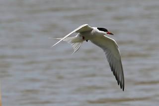 304 Common Tern