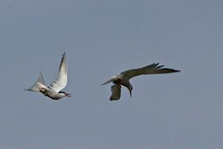 129 Common Tern