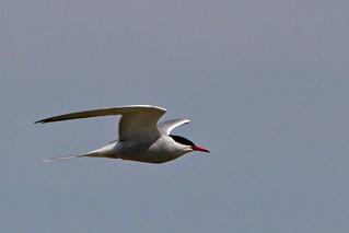 058 Common Tern