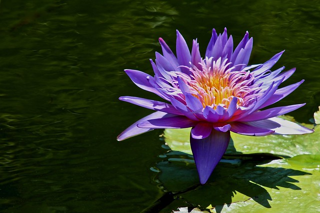 Reflecting Pool Purple Lily