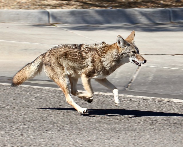 Coyote on Concrete