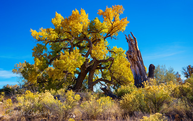 Ancient Cottonwoods in Fall