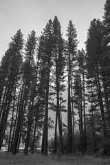 Big sequoia trees in Sequoia National Park