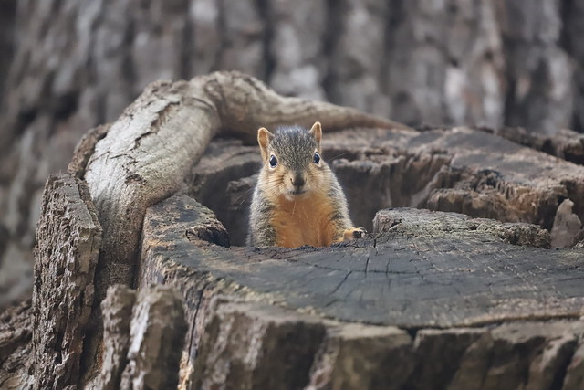 127/366/4144 (October 16, 2019) - Juvenile and Adult Fox Squirrels in Ann Arbor at the University of Michigan - October 16th, 2019