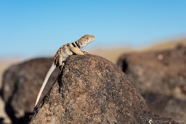 Great Basin Collared Lizard (Crotaphytus bicinctores) Explored.
