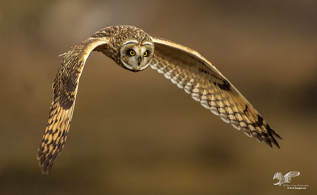 Shortie Flight Shot (Short-Eared Owl)