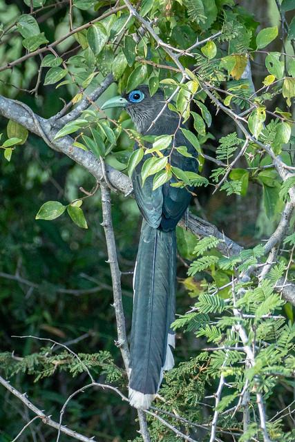 Rhopodytes viridirostris (Blue-faced Malkoha) - Cuculidae - Yala National Park, Southern Province, Sri Lanka