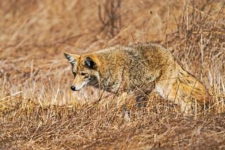 Coyote 162