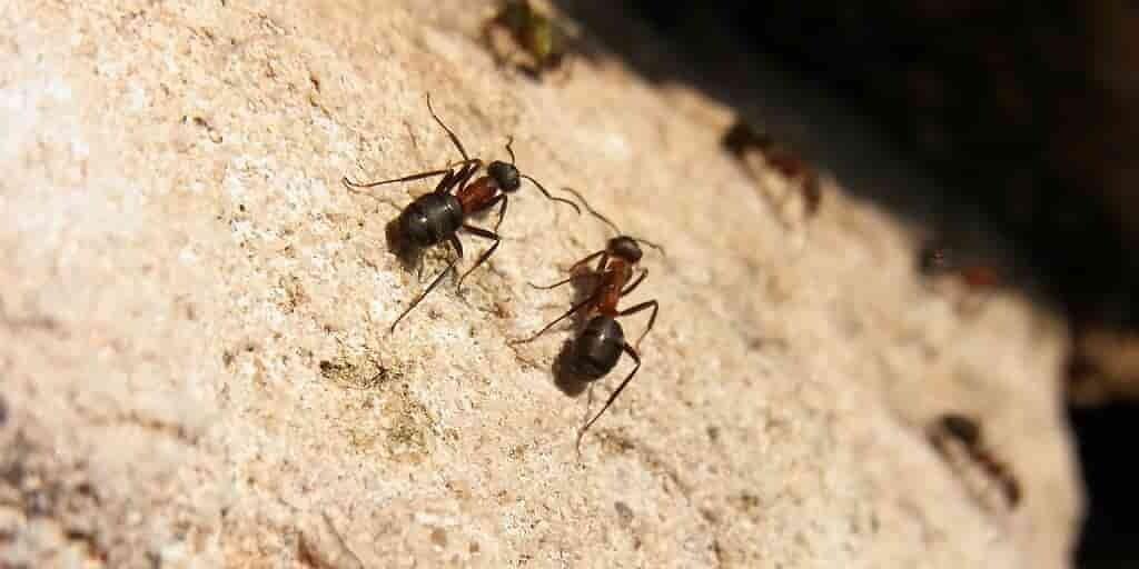 la-fourmi-du-désert-coure-100-fois-sa-longueur-corporelle