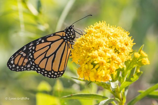 Monarch Butterfly 502_1421.jpg