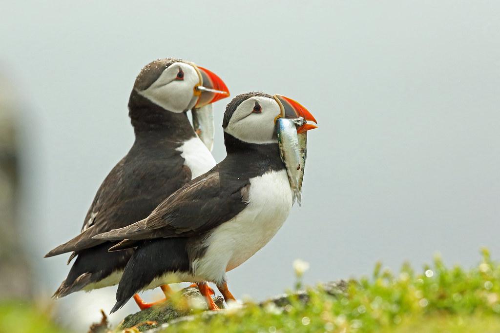 Atlantic Puffin, Isle of May, Fife