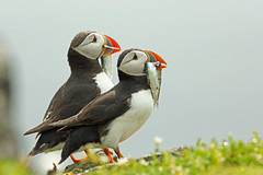 Atlantic Puffin, Isle of May, Fife