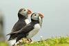 Atlantic Puffin, Isle of May, Fife by Terathopius