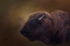 Bison....