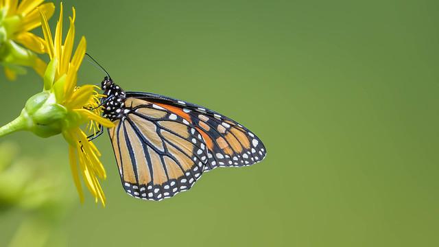 Monarch  4742