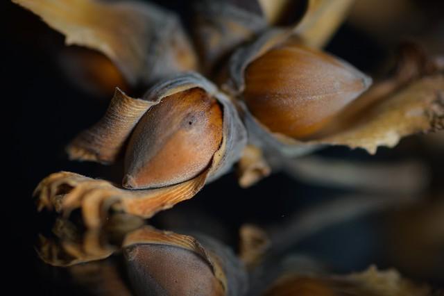 Hazelnuts ... the fruits of autumn
