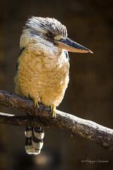 Martin-Chasseur d'Australie / Kookaburra