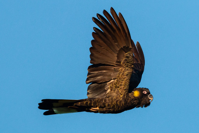 Yellow-tailed Black-cockatoo in Flight 1