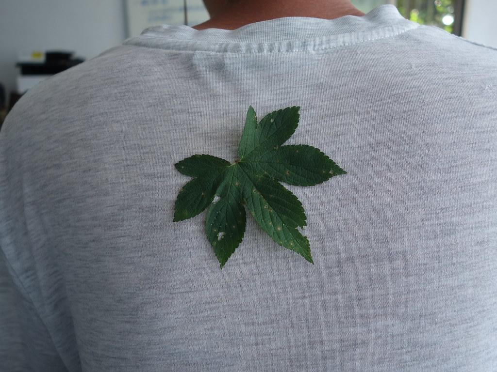 葎草的葉脈(背面)也生長著細小的逆刺,可以服貼在衣物上當成童玩。