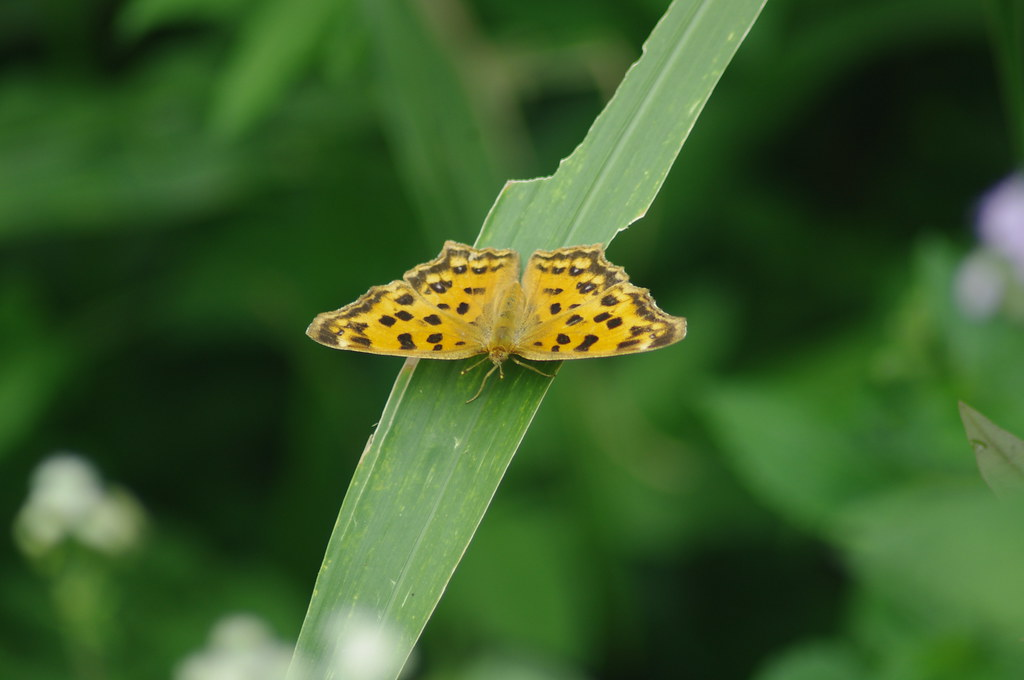 黃鉤蛺蝶的成蟲,葎草是目前已知的唯一食草。