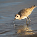 Pacific Golden-Plover Brings Up Water Droplets With A Missed Attempt At Capturing Food