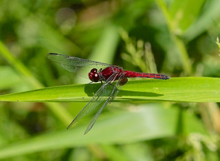 Red-faced Dragonlet --- Erythrodiplax fusca