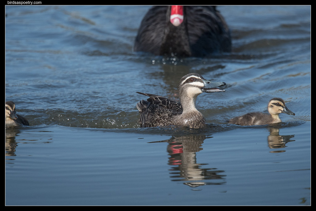 Pacific Black Duck: Drama at the Pond