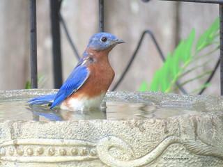 male bluebird10
