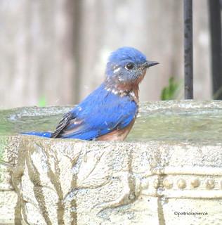 male bluebird13