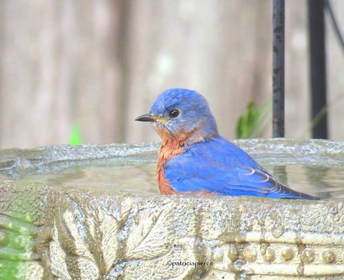 male bluebird15