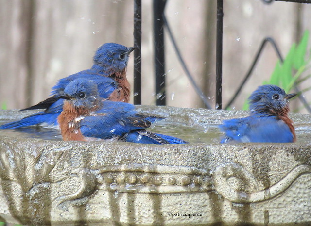 male bluebirds8