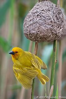 Parade du tisserin jaune...Parade of the yellow weaver