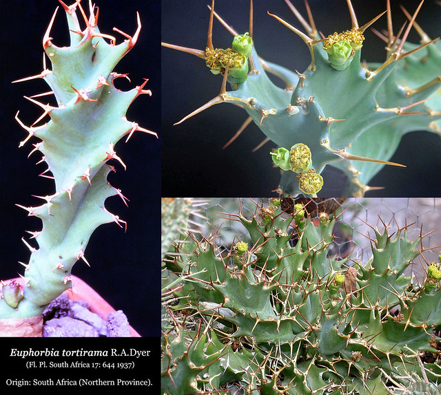 Euphorbia tortirama (collage)