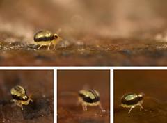 Sminthurinus signatus