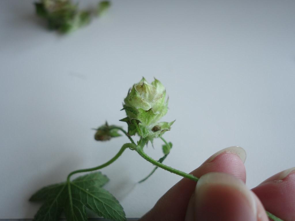 葎草的毬果,由數層苞片重疊而成,每片原有2朵雌花。