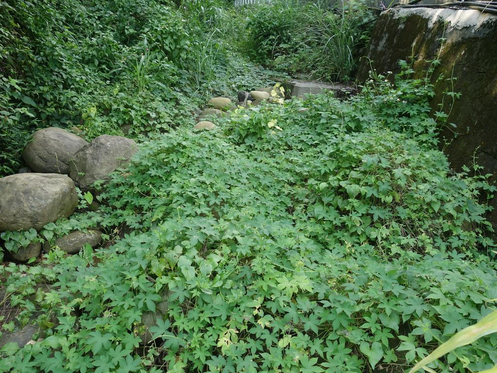 覆蓋整個河道的葎草。
