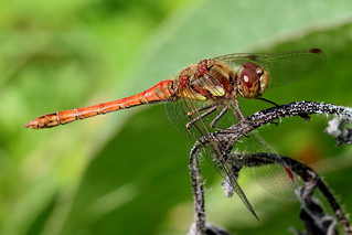 Little darter 210819 IMG_1285
