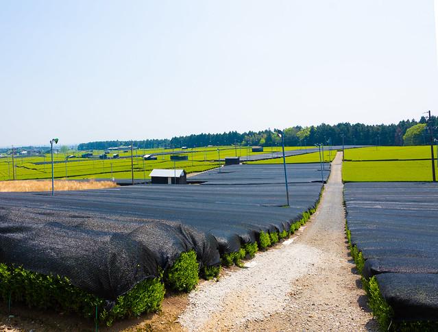 Kabusecha field, Yokkaichi, Mie, Japan