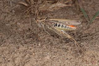 Rolf_Nagel-Fl-5929-Chorthippus brunneus
