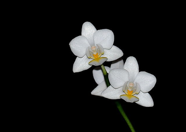 Phalaenopsis Orchid [moth orchid]