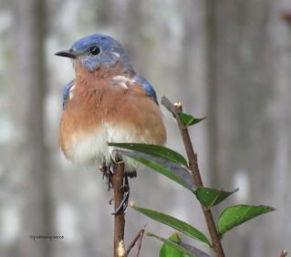 male bluebird17