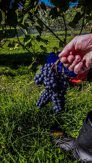 grape_cluster-4_MaxHDR_Contrast (1 of 1)