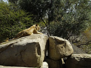 León de Angola