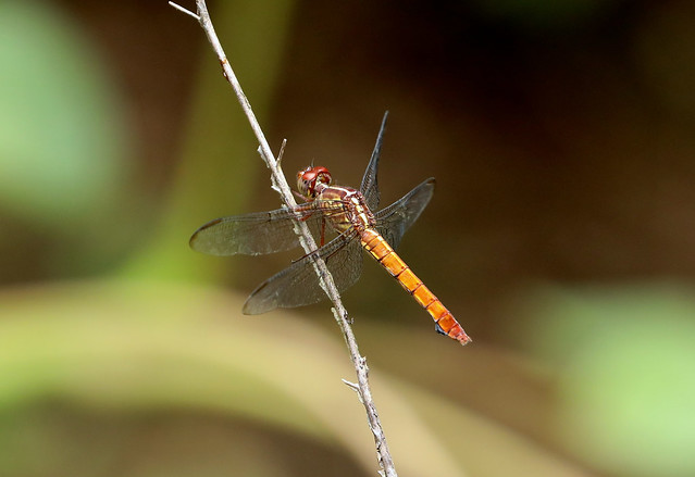 Female Carmine Skimmer —- Orthemis discolor