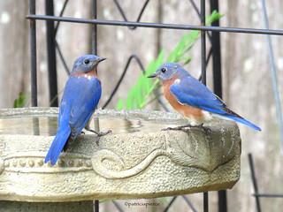 male bluebirds3