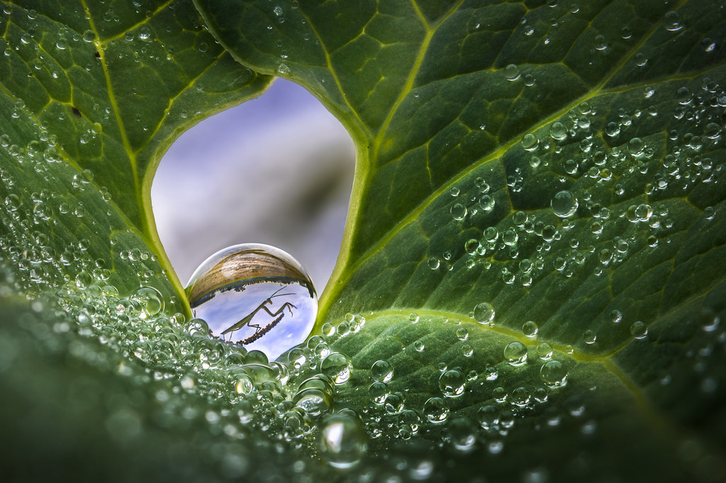 There is a mantis in that dew drop